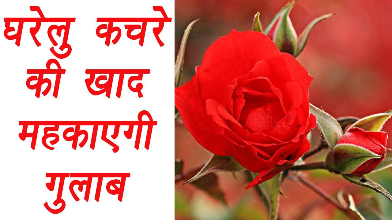 Homemade fertilizer for Roses   घरेलु