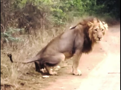WATCH FIRST TIME UNBELIEVABLE Rare Asiatic lion Defecation verb activities in Gir forest.