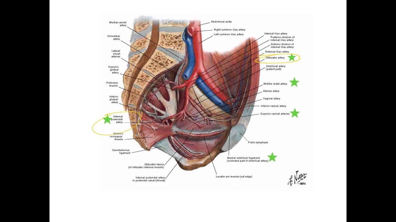 Internal Iliac Arteries Youtube