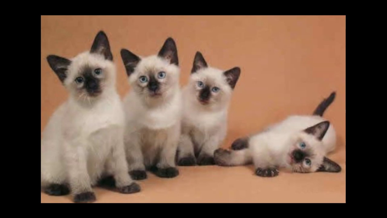 Balinese Cat | Looks Like A Wonderful Cat! - YouTube