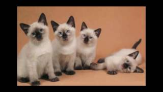 Balinese Cat | Looks Like A Wonderful Cat!