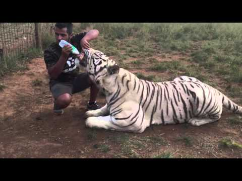 Jugomaro Lions And Tiger Attack With Love