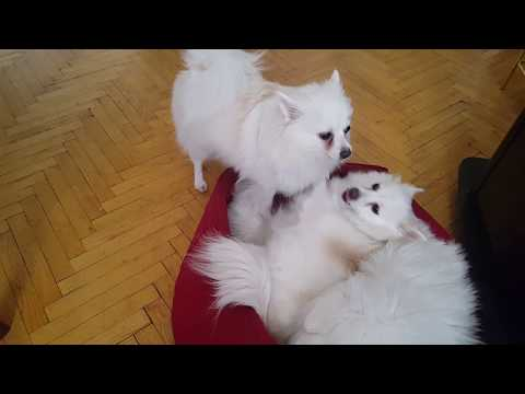 German Spitz: The Sweetest Thing Have Fun