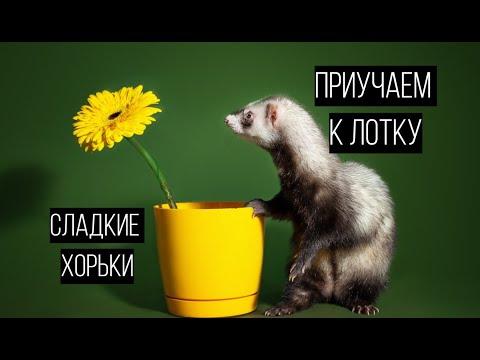 Как ПРИУЧИТЬ К ЛОТКУ / сладкие хорьки