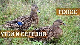 Голос утки и селезня. Межрегиональные состязания подсадных уток
