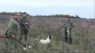 Охота с Английским Спрингер Спаниелем на фазана