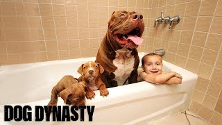 Download Giant Pit Bull Hulk's $500,000 Puppy Litter | DOG DYNASTY Mp3 and Videos