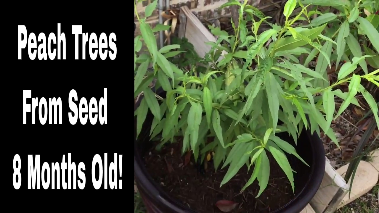 Peach Trees From Seed, 8 Months Old! - YouTube