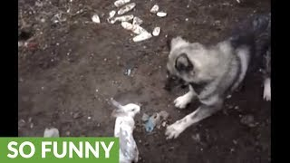 Bunny rabbit happily plays with large farm dog