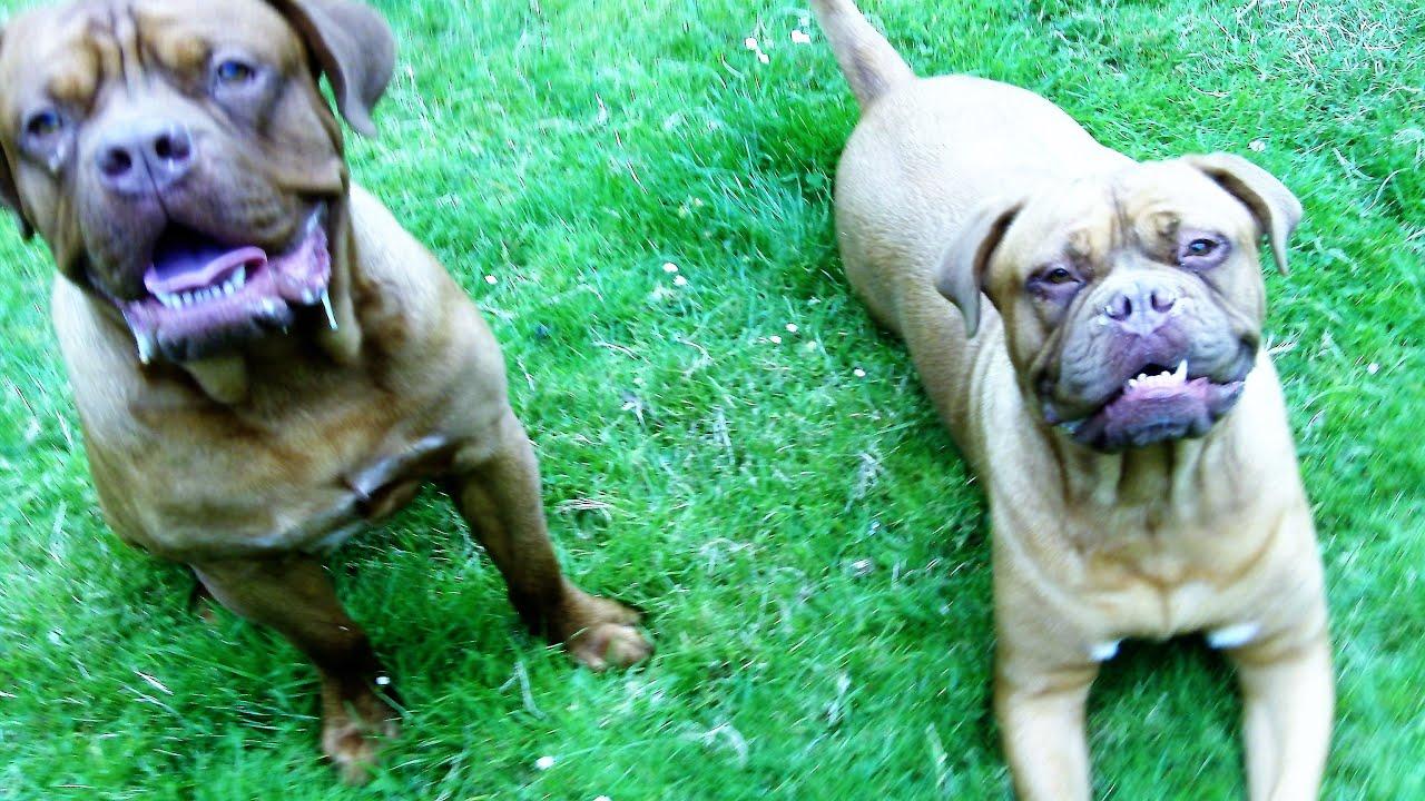 Dog De Bordeauxs Harper & Vinny