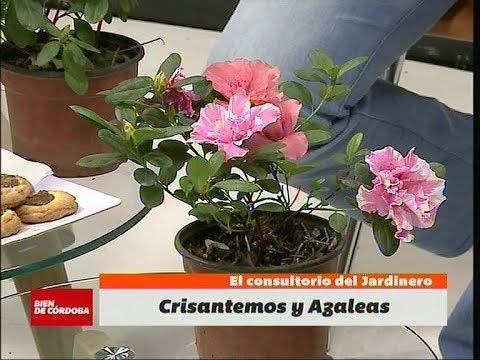 Las Azaleas Sus Secretos Y Cuidados En Bien De Cordoba Bdc Youtube