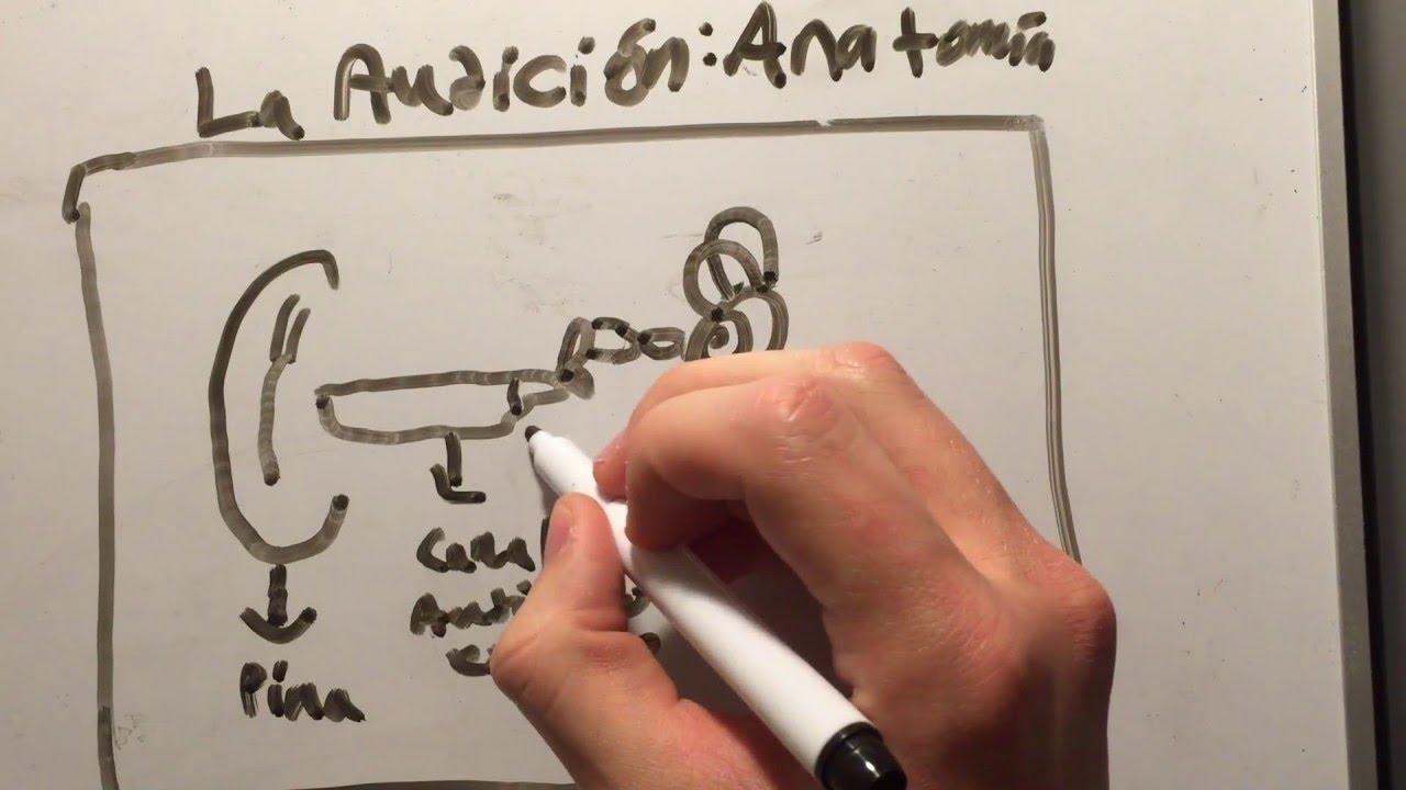 Increíble Anatomía Y Fisiología De La Audición Fotos - Imágenes de ...