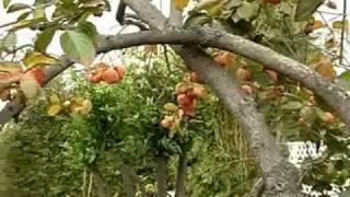 Cây Hồng Dòn Sai Trái tại Saigon Nhỏ - California USA