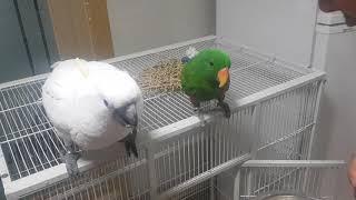 앵무새 말교육시키기 코카투 앵두와 뉴기니아 로또이야기