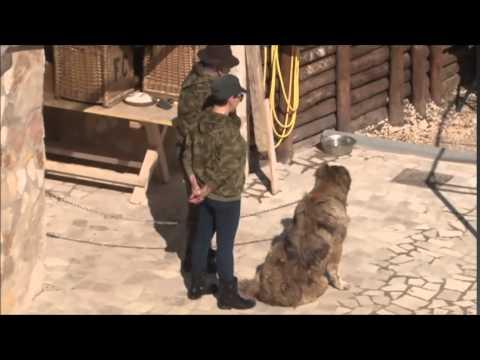 Sandra attack Pastore del Caucaso.female 2,5 years! All.Amos Sordi
