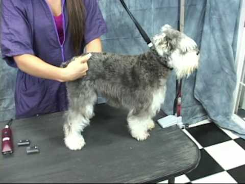 Schnauzer Grooming at wwwOnlineGroomingSchoolcom Take a