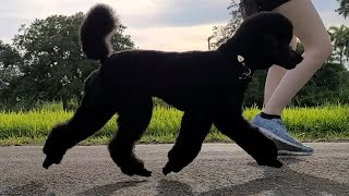 Misha the Miniature Poodle Demonstrates Trot and Gallop
