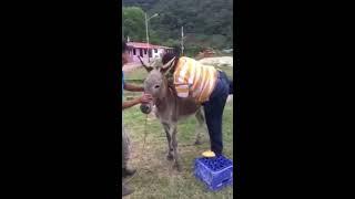 Однажды встретились два осла
