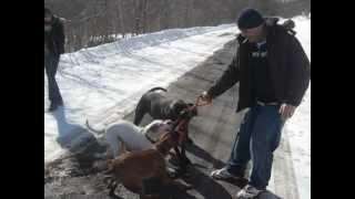 Rottweiler Croisé Pit Bull, Boxer, Pit Bull Americain Et Chiot Napolitain Mastiff