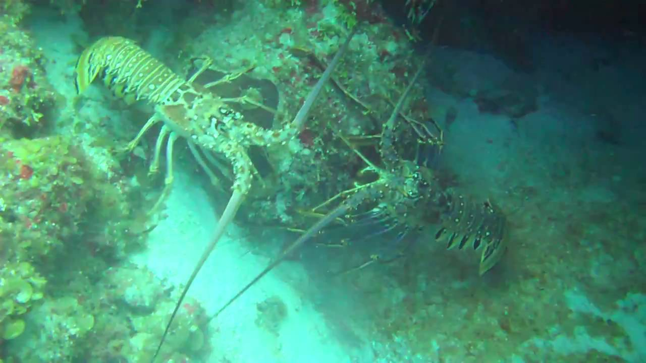 Mating Lobsters in the Wild - YouTube