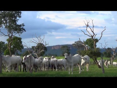 pastoral landscape, beef cattle, extensive grazing system, Country Life, Brazil,