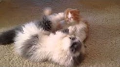 Jax and Riley - persian kittens smackdown