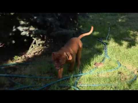 Hannibal - Dogue de Bordeaux Puppy for sale