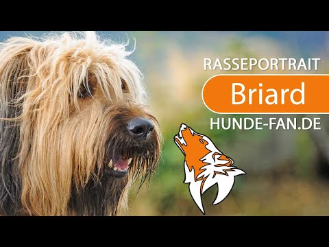 Briard [2018] Breed, Appearance & Character