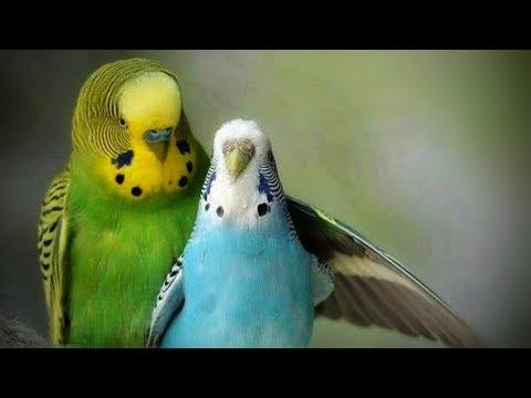 Love birds mating.HD+ (With original audio)