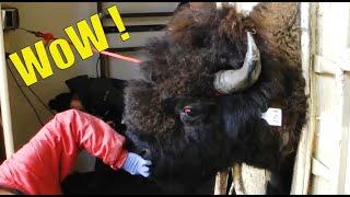 С дикими животными лучше не шутить, это может быть опасно! Подборка невероятных моментов
