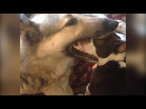 Dog Puts Little Dog In His Mouth