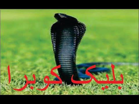Kala cobra
