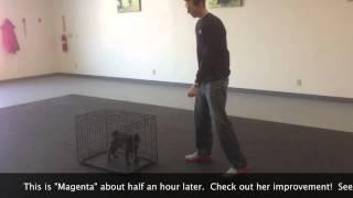Magenta Crate Training