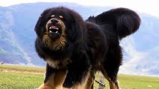 2015年に世界のトップ10ガードと最強犬 ... このビデオは、無料でインタ...