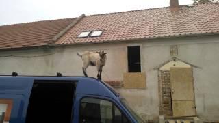 zanim kupisz sobie koze musisz to zobaczyć