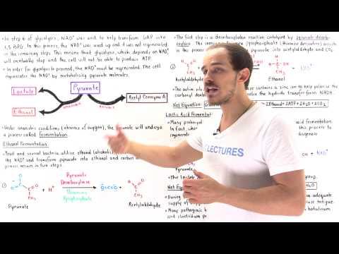 Ethanol and Lactic Acid Fermentation