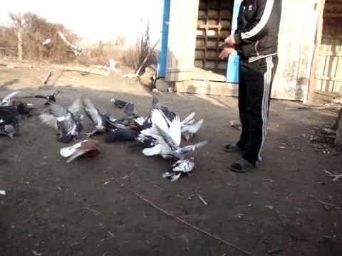 николаевские голуби в с.Виноградовка часть