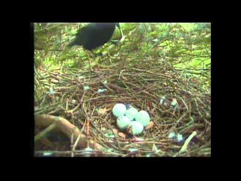 Crow attacks Sparrowhawk nest at Royal Botanic Garden Edinburgh