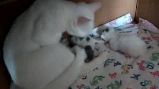 Как растут наши котята 4-й день....