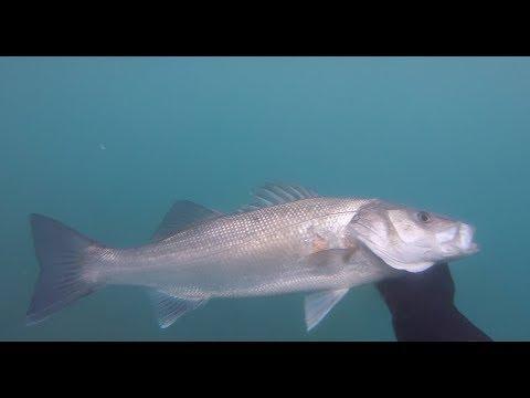 Βαρομετρικό χαμηλό!shallow winter spearfing for sea bass..