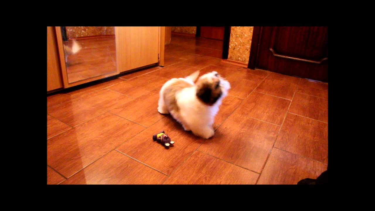 Shih Tzu Pups Gold And White Kolor Youtube
