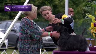 Scottish Terriers   Breed Judging 2021