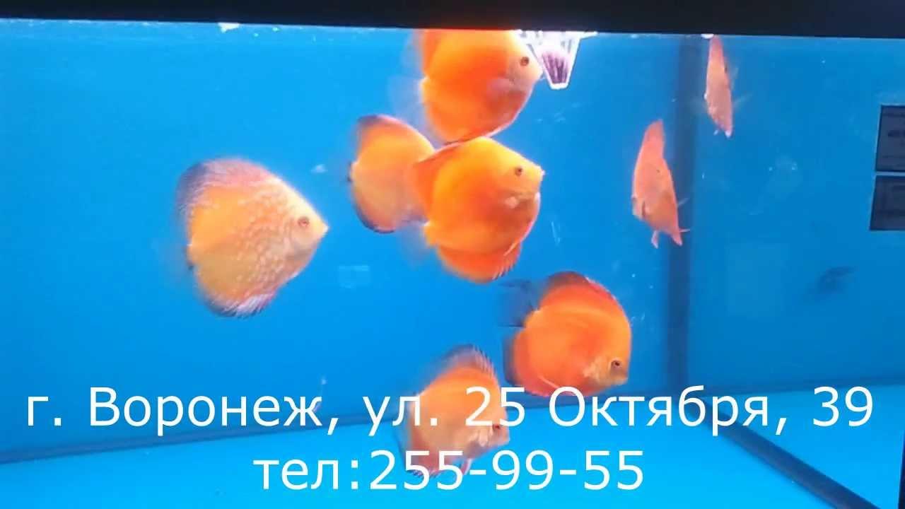 Аквариумная рыбка Дискус г. Воронеж (интернет-магазин AquaFish и .