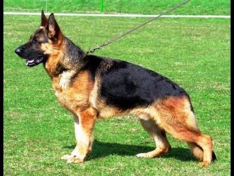 Các giống chó trong trại chó nghiệp vụ HV Nông Nghiệp Việt Nam