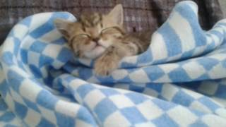Котёнок британец )))