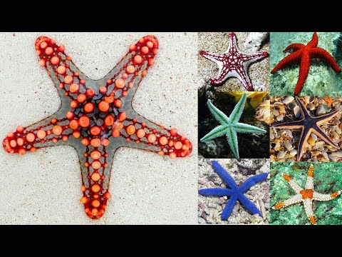 The Colorful And Bizarre World Of Starfish - 1 💖