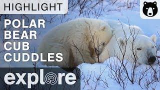 Polar Bear Cub Cuddles With Mother Bear