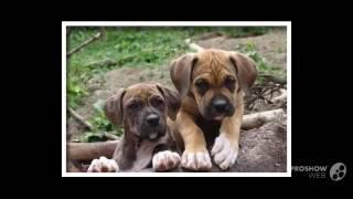 Spanish Bulldog Dog Breed