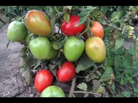 ПОМИДОР БОЕЦ#ОПИСАНИЕ ХАРАКТЕРИСТИКА | характеристика | открытом | описание | огранома | томатом | теплице | помидор | томата | огород | грунте