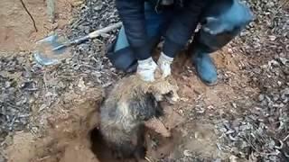 Охота на енотов видео на норе смотреть онлайн